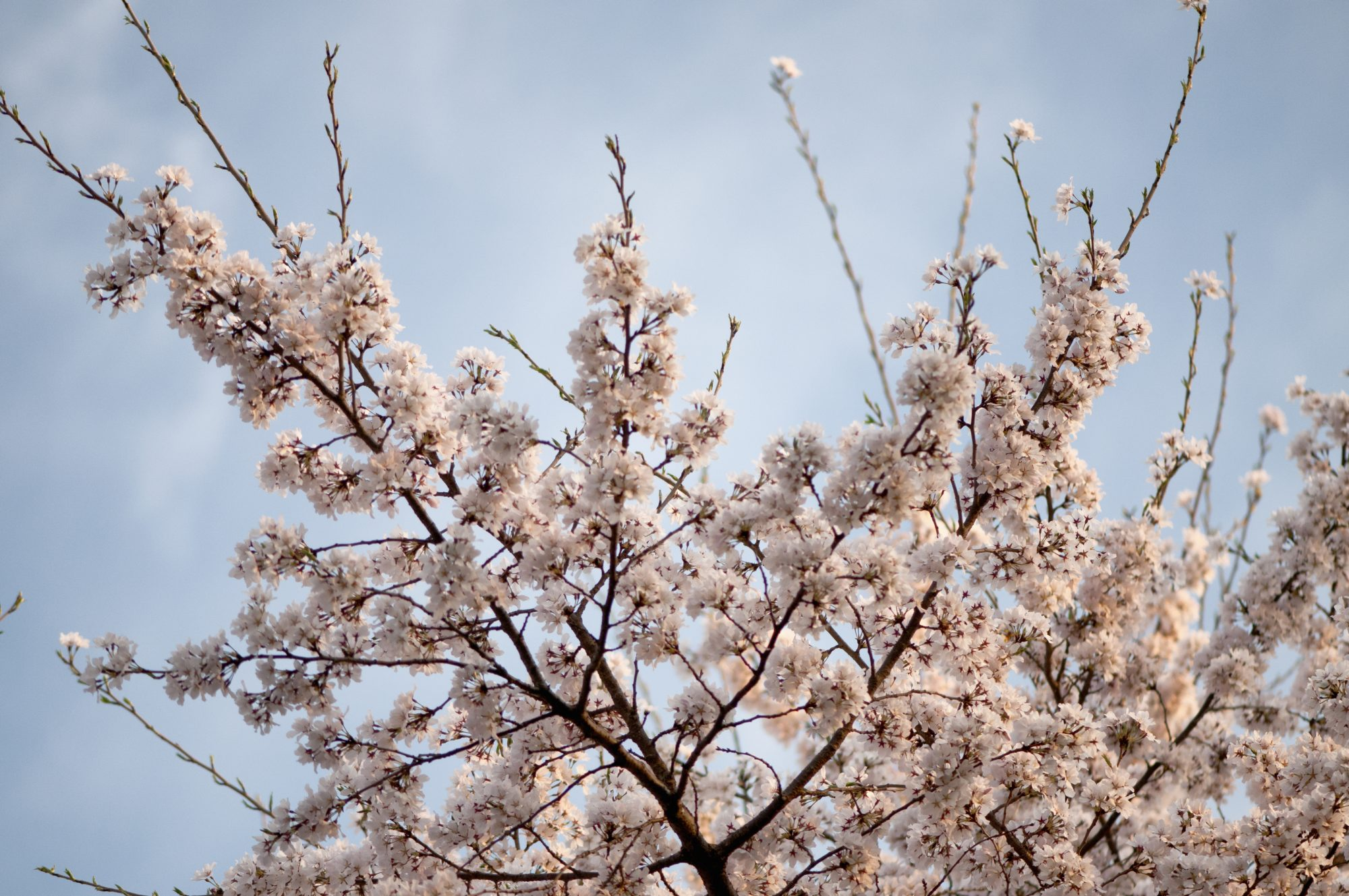 Where Can We Grow Cherry Trees In The South Southern Living