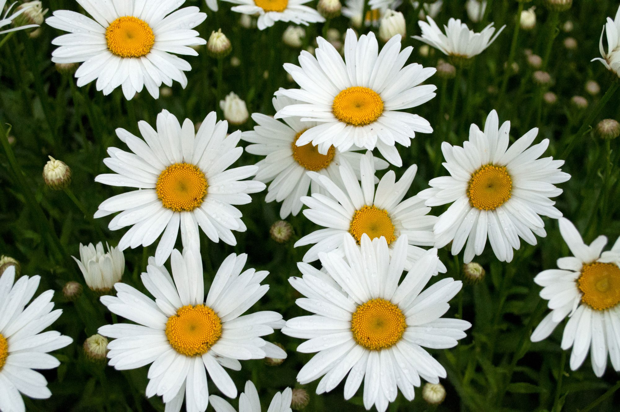 Why the daisy is a girls best friend southern living white shasta daisies izmirmasajfo