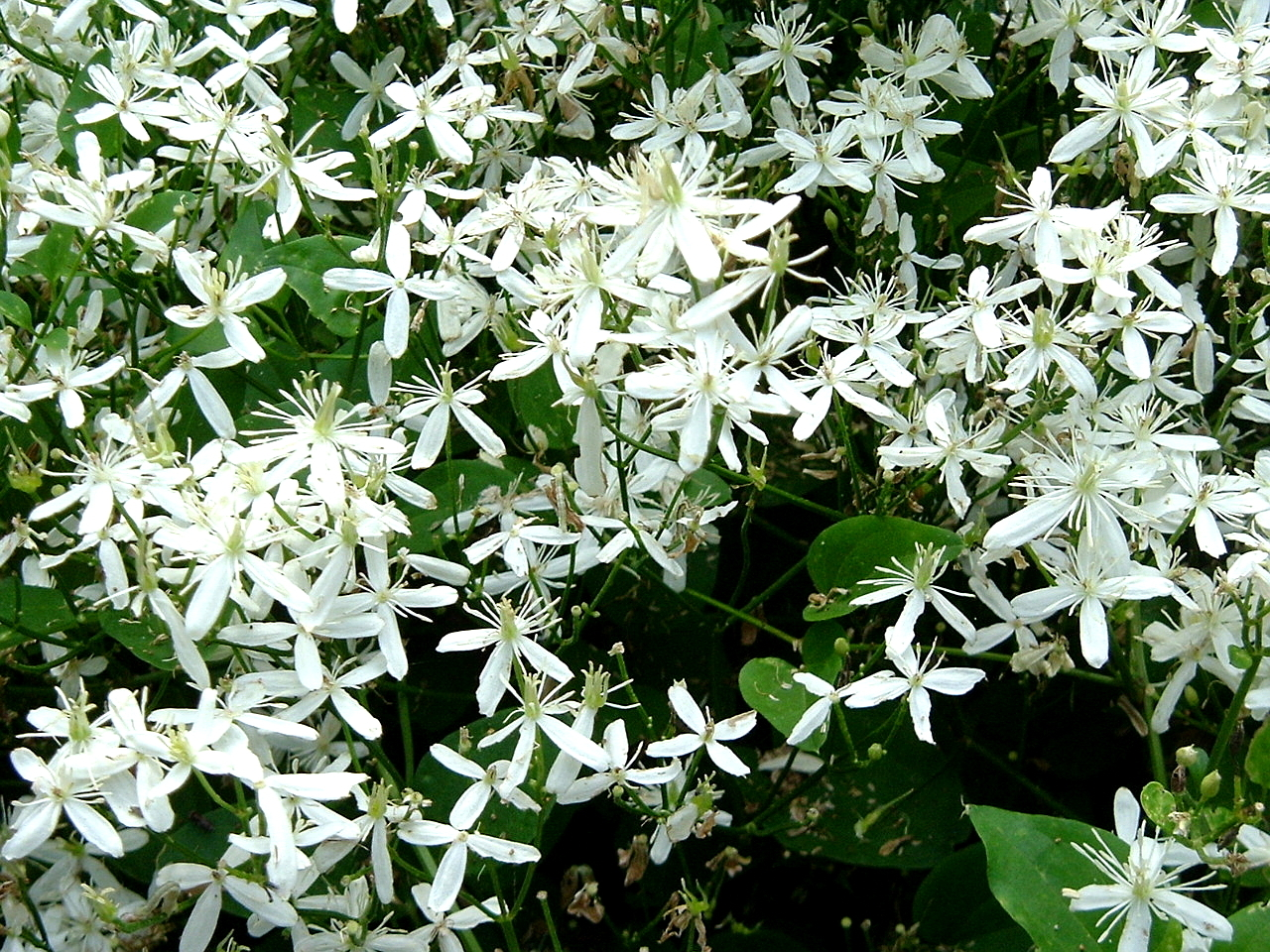 The souths best fragrant plants for your garden southern living sweet autumn clematis mightylinksfo