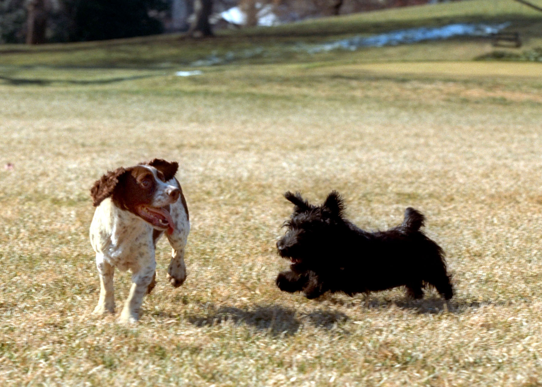 Springer Spaniel Running from Dog
