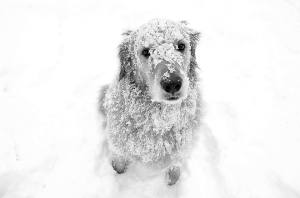 Golden Retriever Covered in Snow