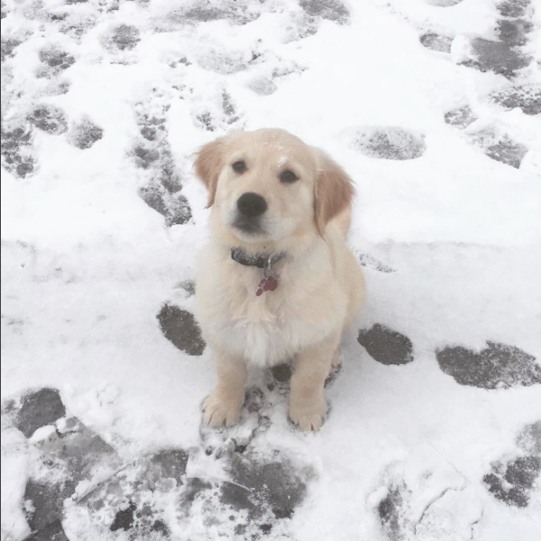 Puppy Golden Retriever Sitting in the Snow