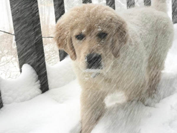 Fuzzy Golden Retriever Puppy in Snow