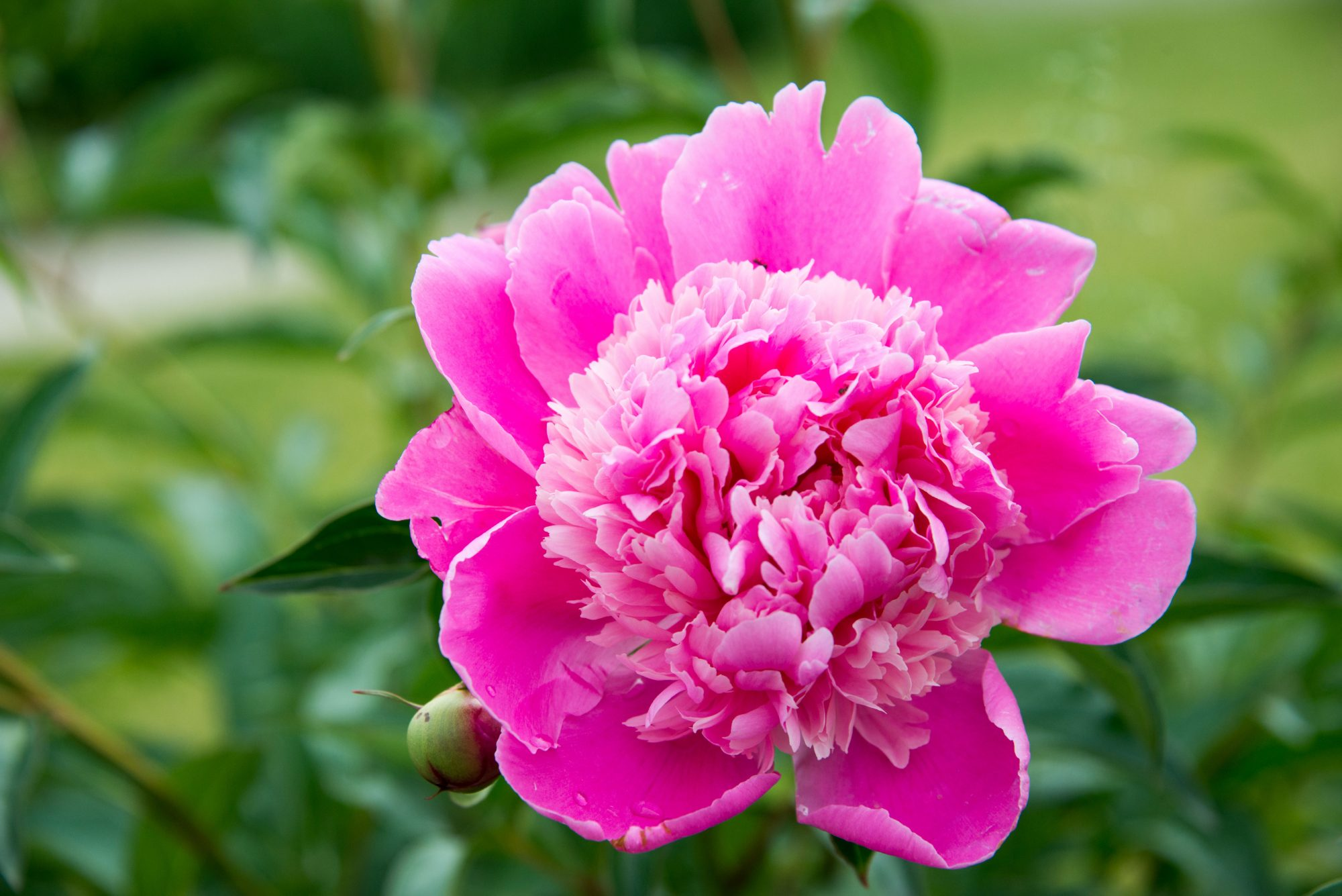 Blossoming Pink Peony