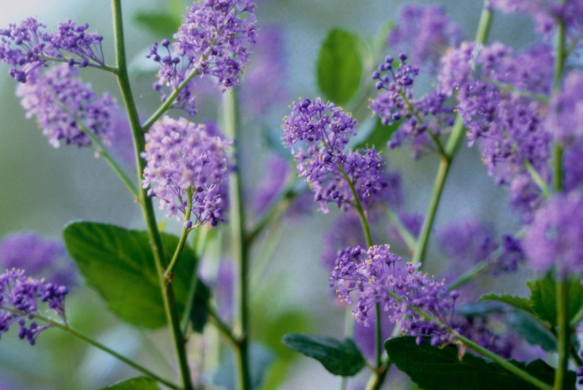 Purple Lilac Outside