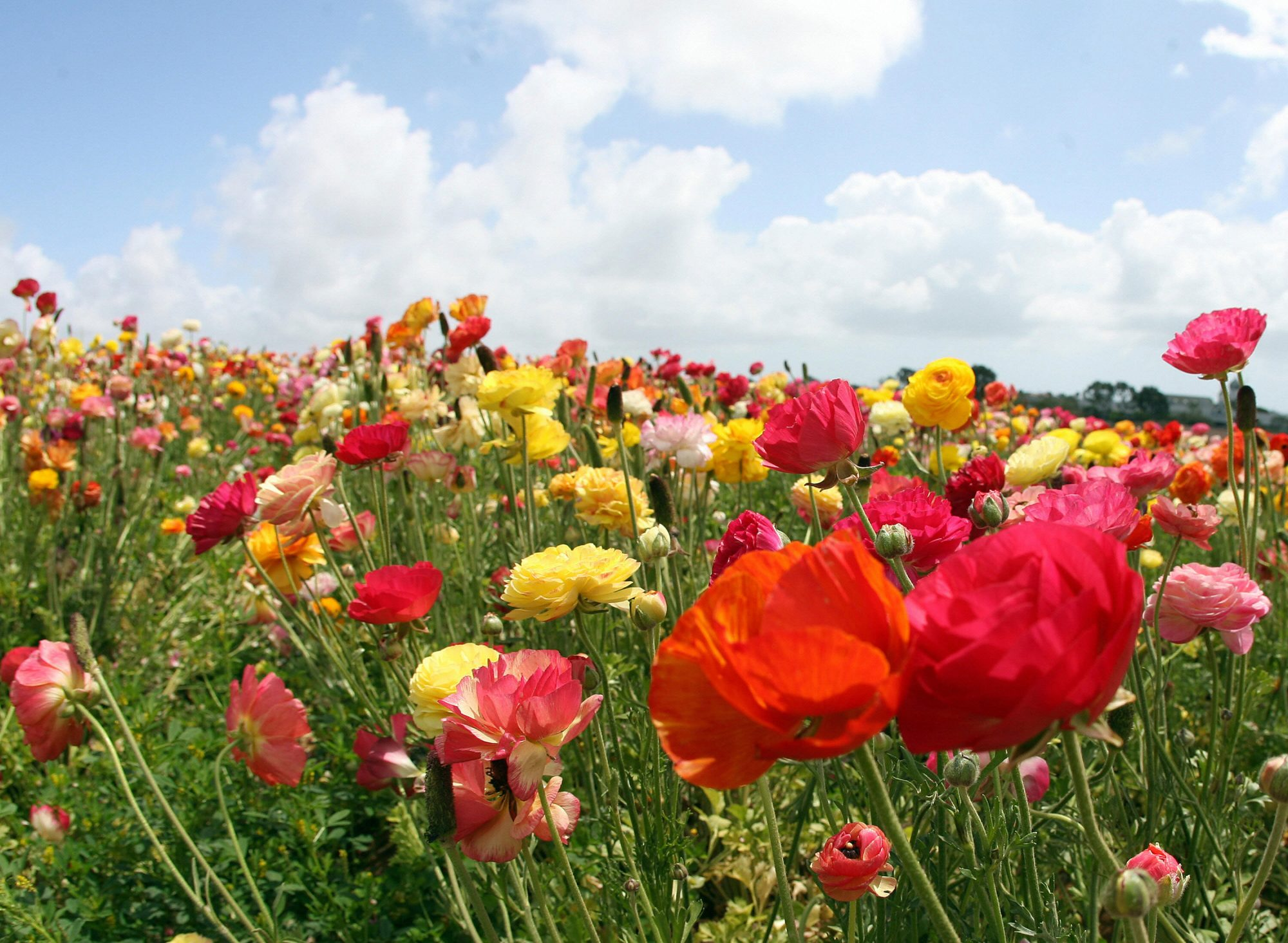 Field of Ranunculus