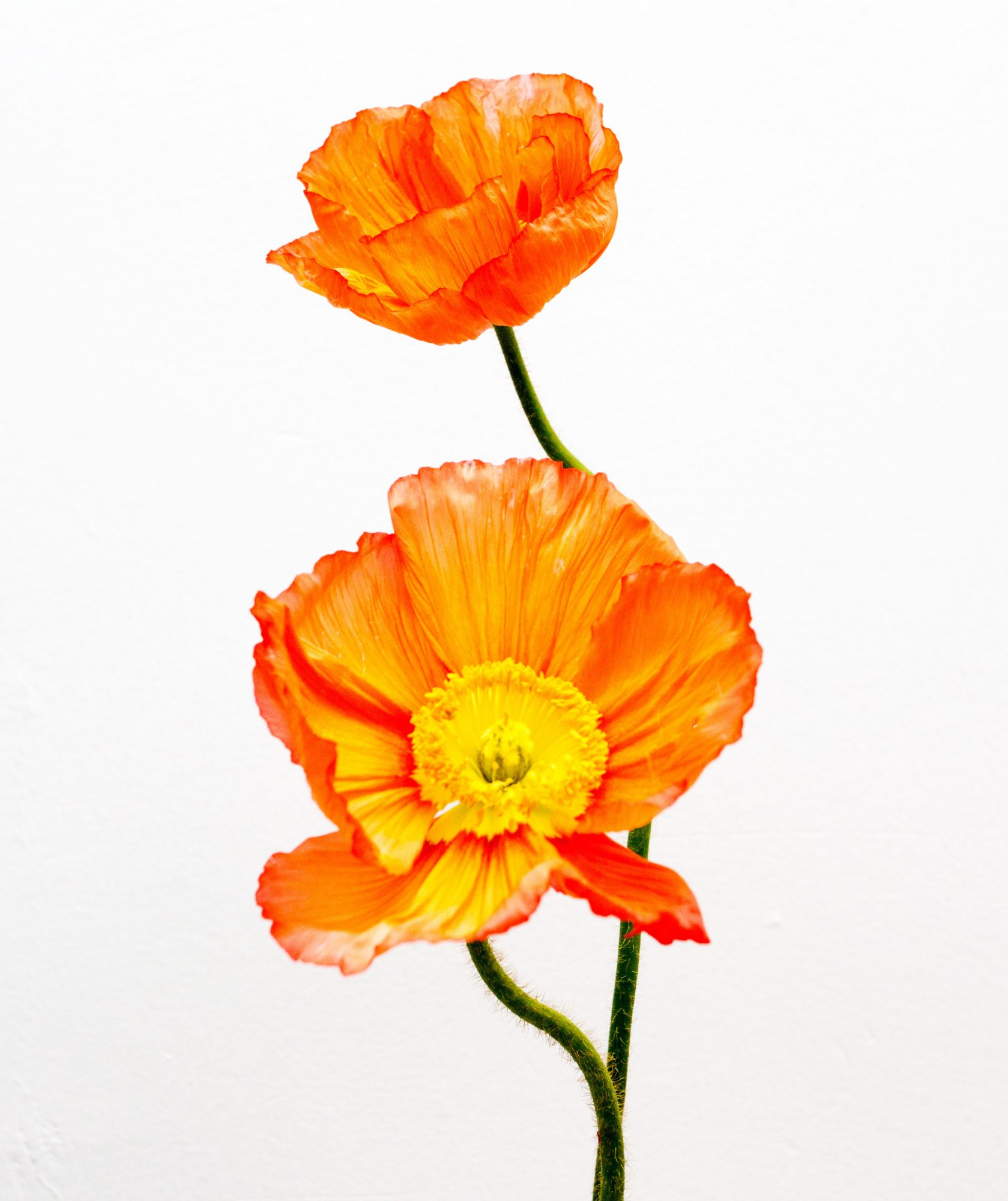 For the Happy-Go-Lucky, Outgoing Type: Poppies