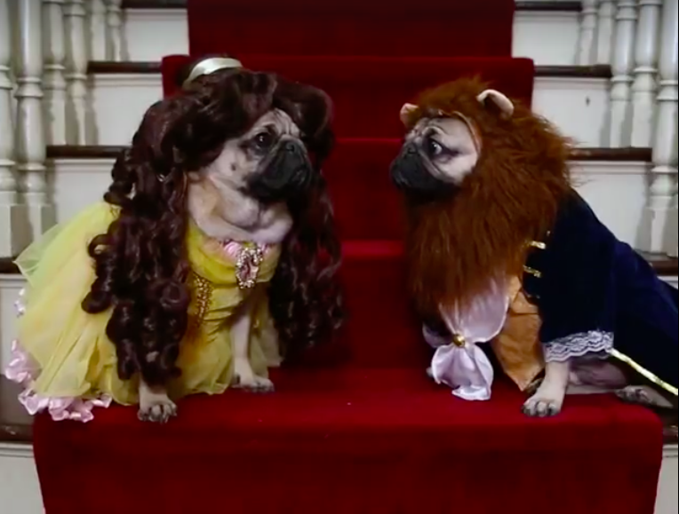 Watch Doug the Pug in Hilarious Beauty and the Beast Video