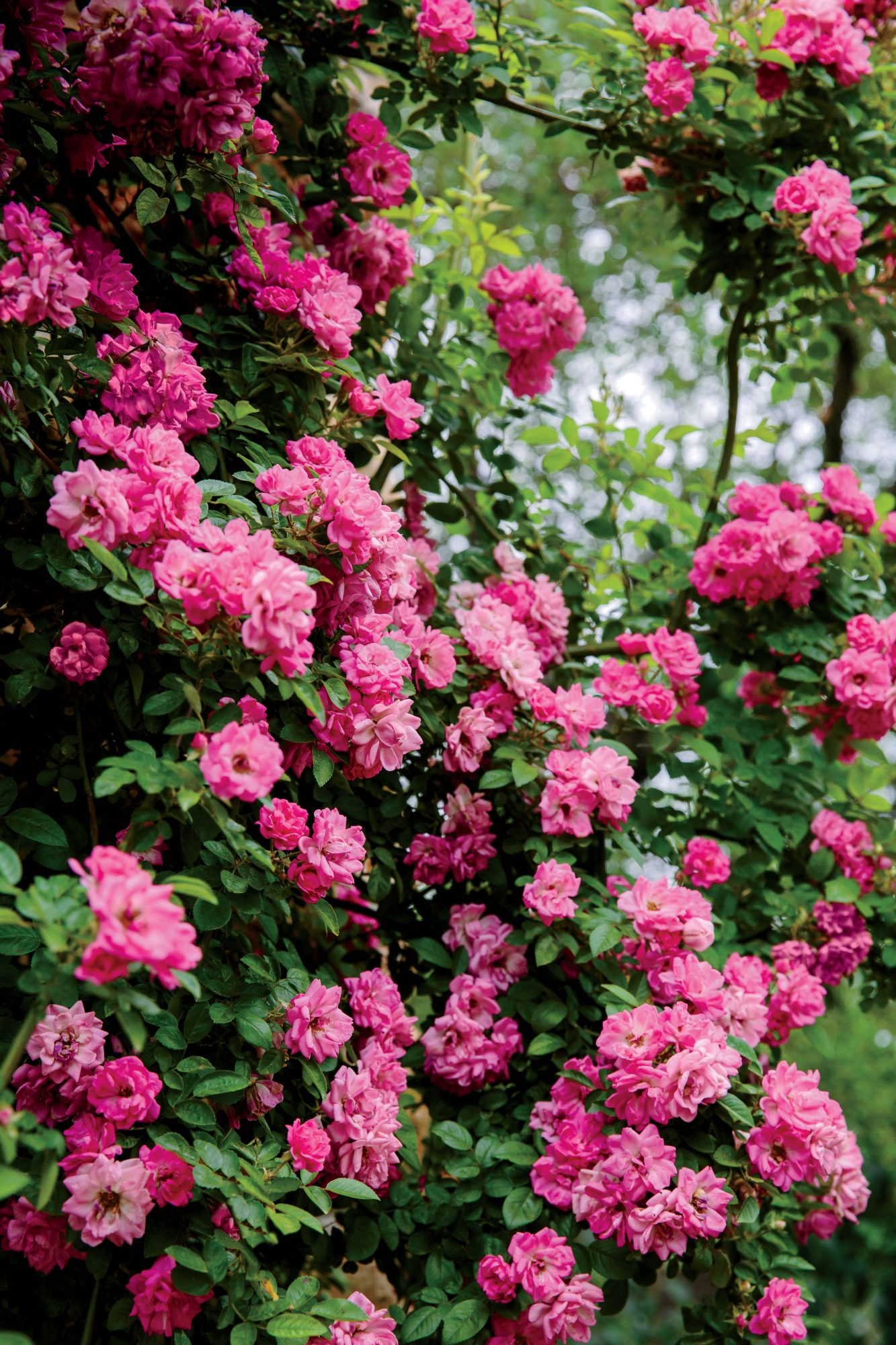 Rose Rosa Southern Living
