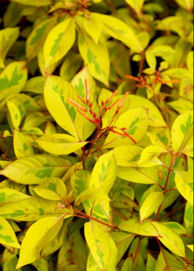 Showstopping Lime Sizzler Firebush
