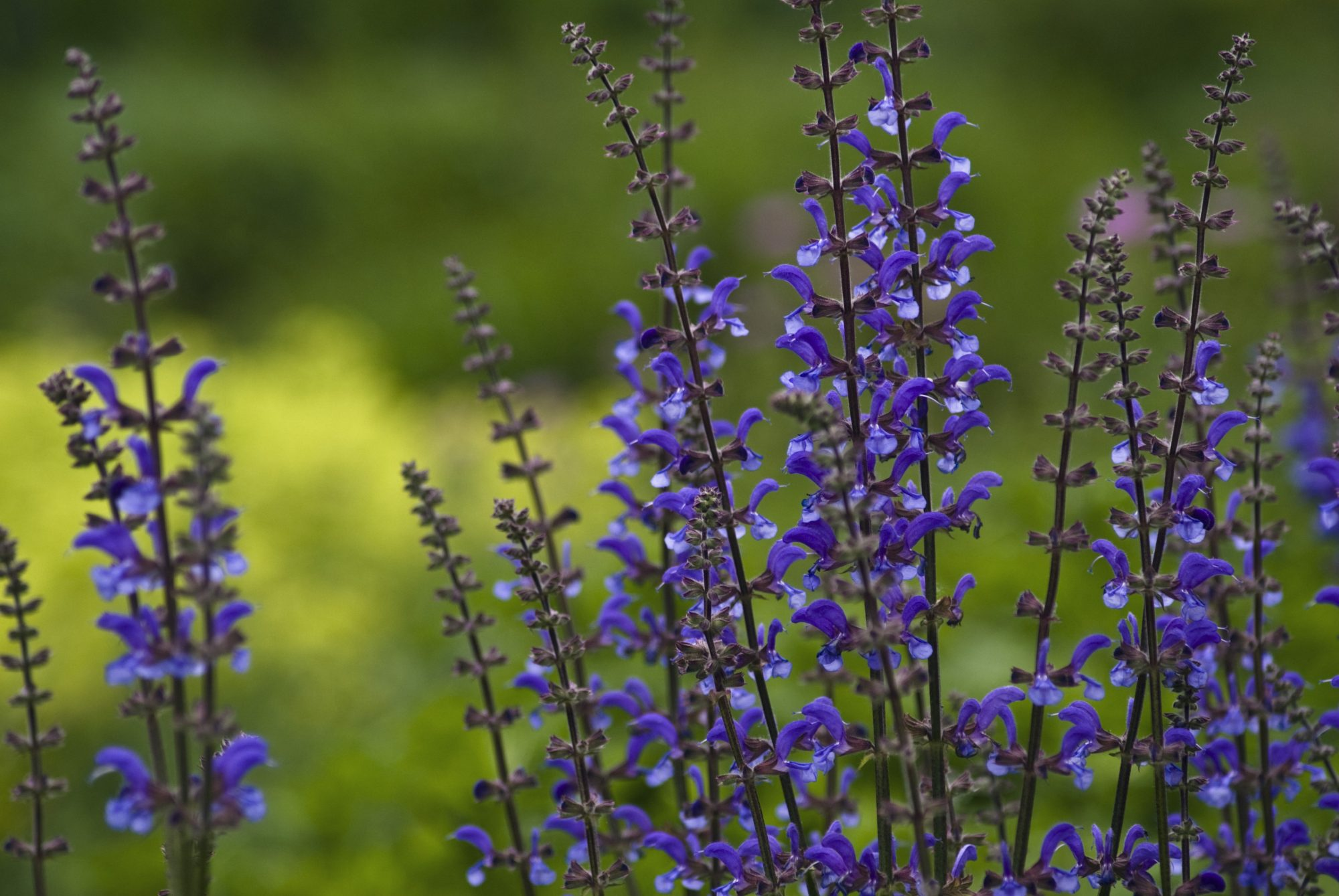 Shades of Salvia
