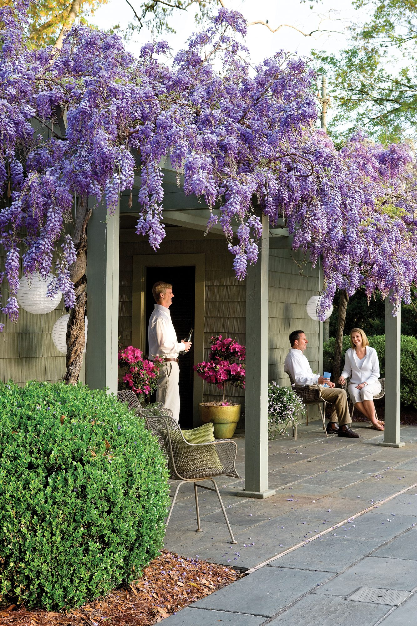 Wisteria Vines With Purple Flowers Also Grow As Trees Shrubs