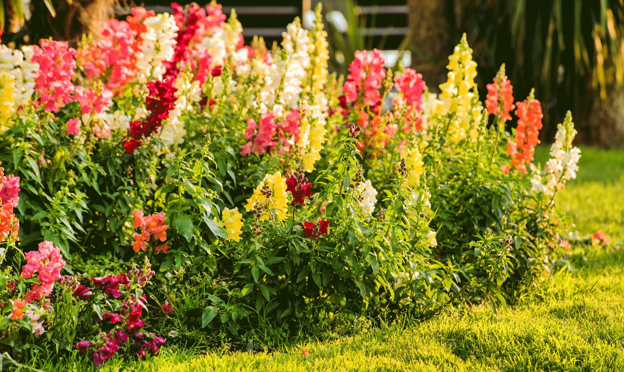 Roses In Garden: Here's How To Grow Your Own Bouquet With A Cut Flower
