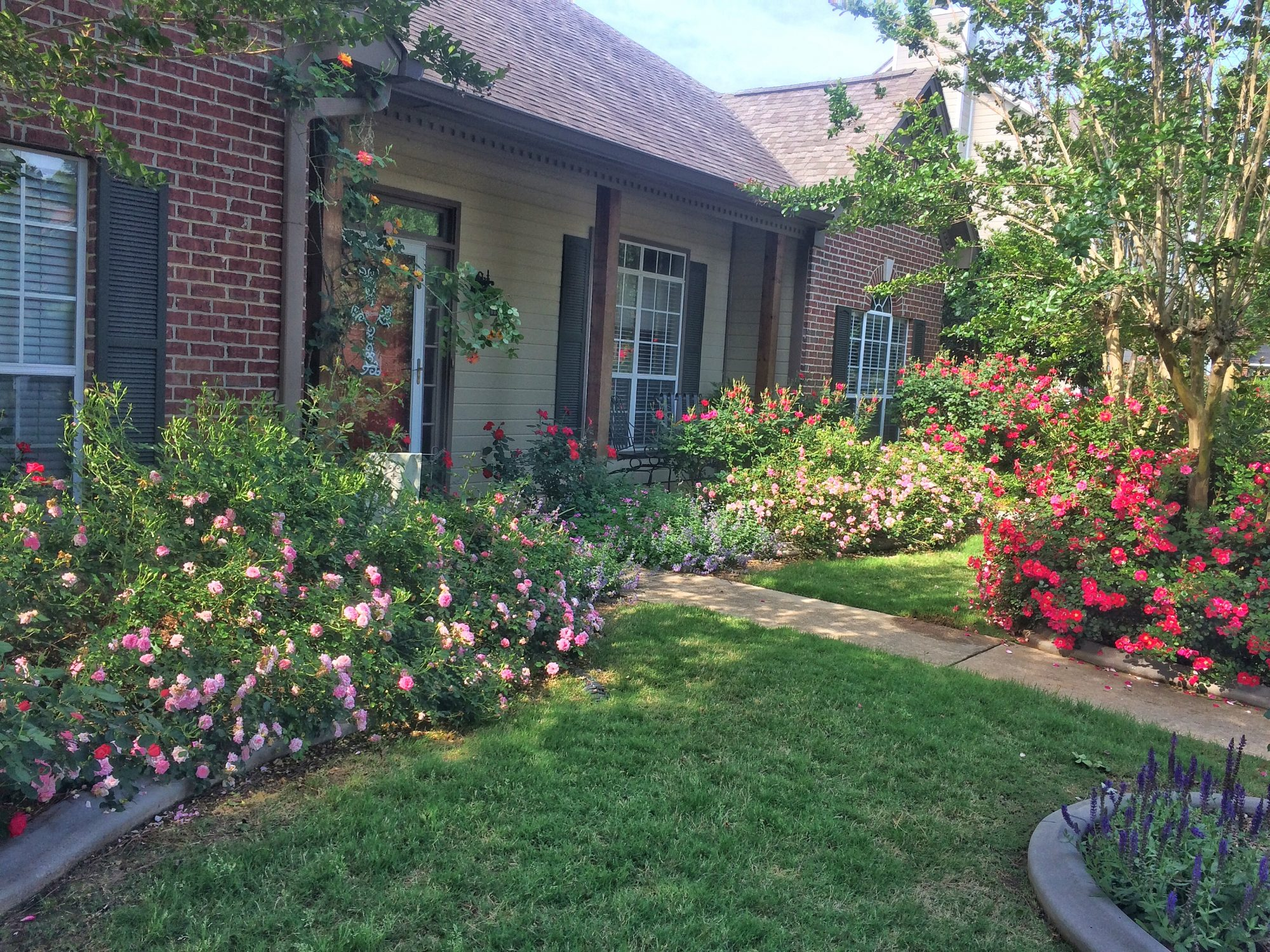 Chris VanCleave Rose Garden: Sweet Drift, Knockout, And Cherry Pie Roses