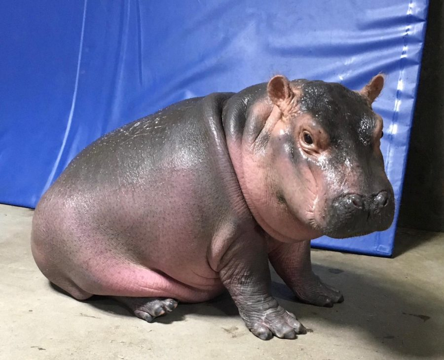 It's Sunday, so please watch a baby hippo freak completely out about bubbles