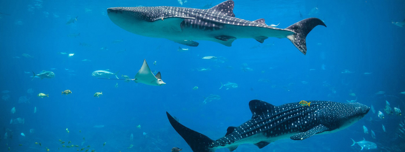 12. Go Swimming with Whale Sharks