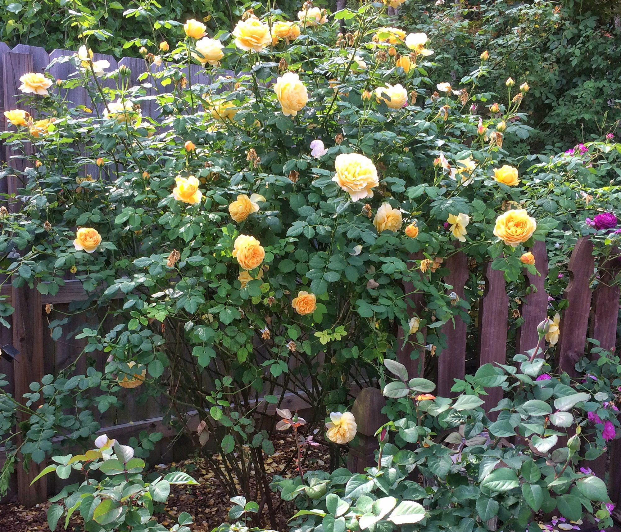Roses In Garden: Grow Roses Like A Redneck