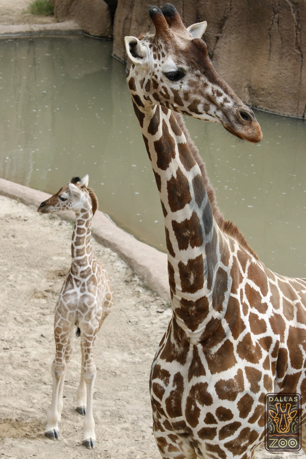 dallas zoo giraffe baby