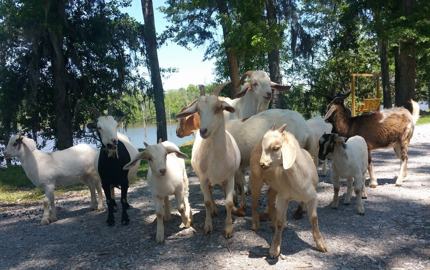 Goats in Alabama
