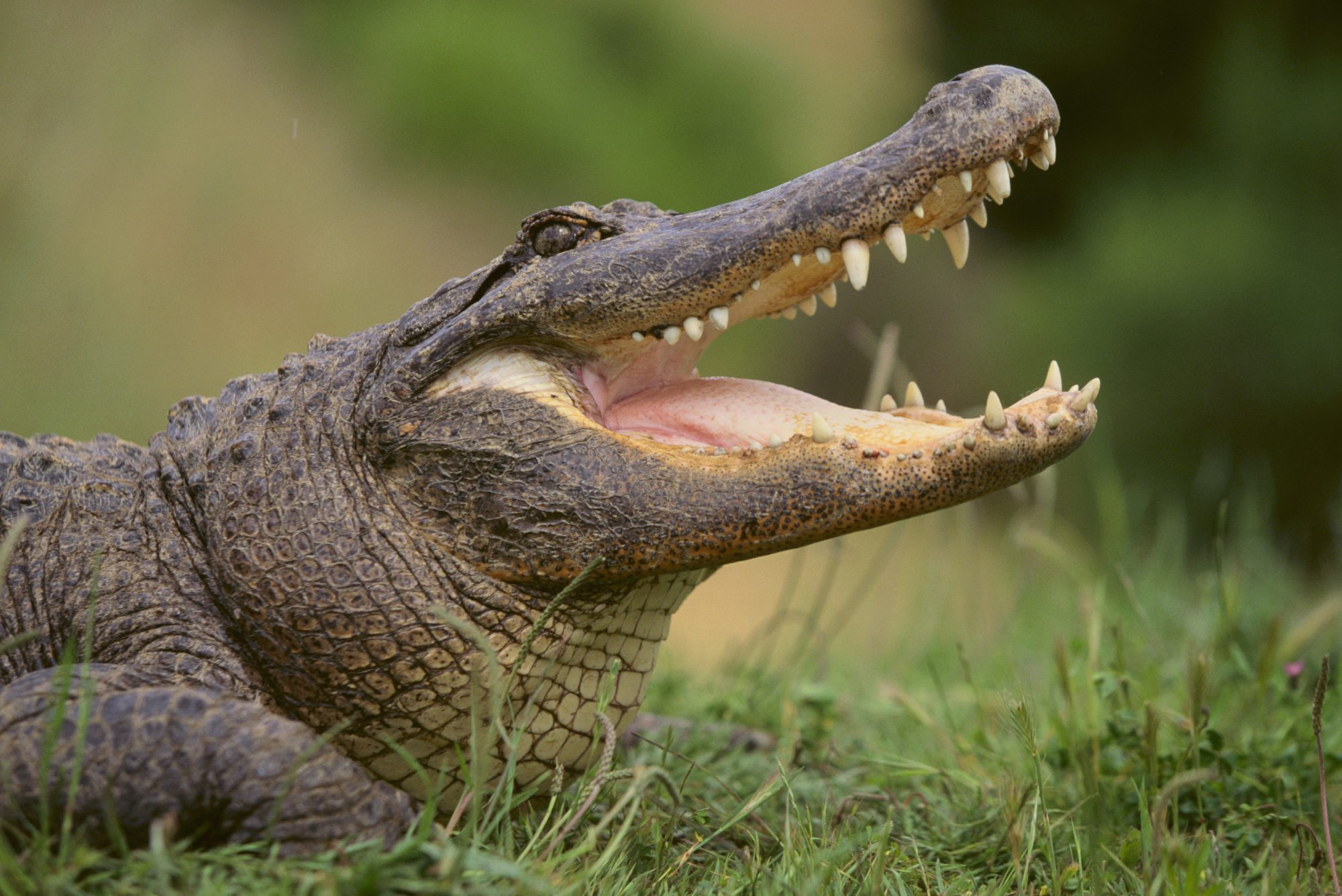 large alligator open mouthed