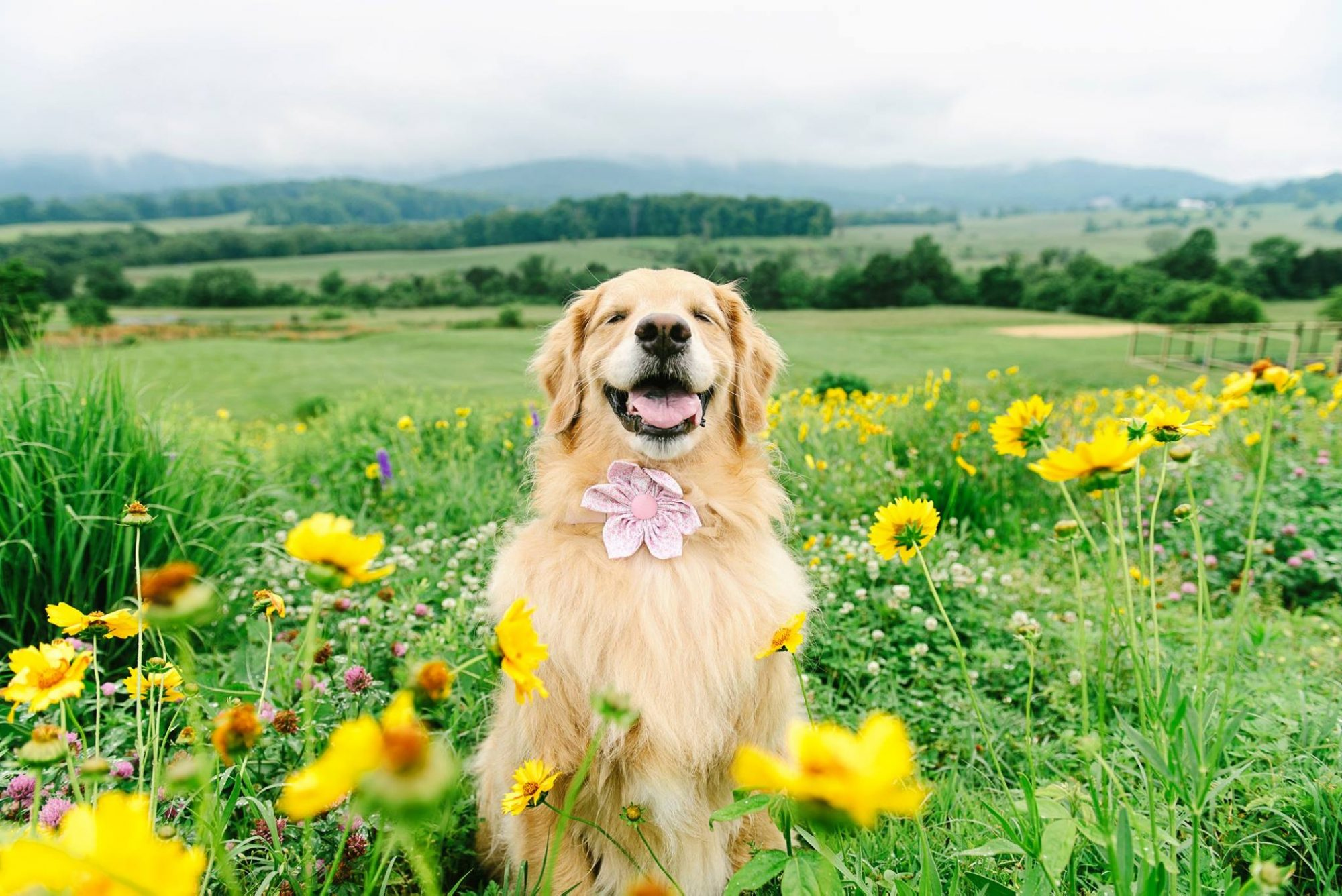 Charlottesville Photographer's Instagram Famous Golden Retriever