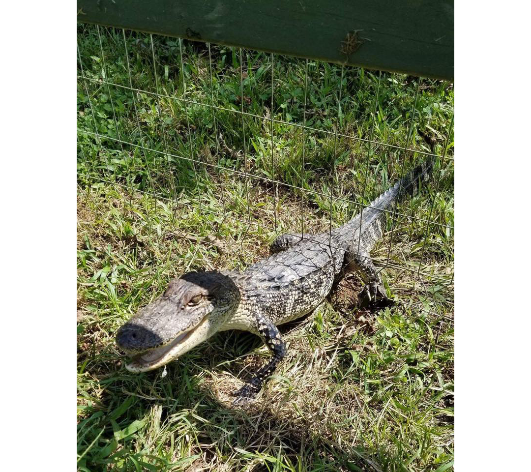 Alligator in Fence