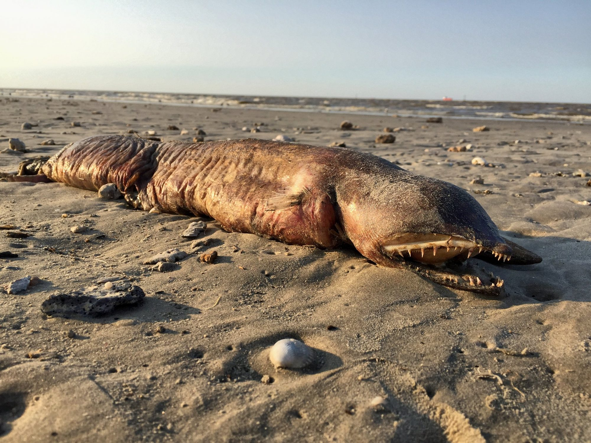 A sea creature was found on a beach in Texas City, Texas on Sept. 6, 2017.