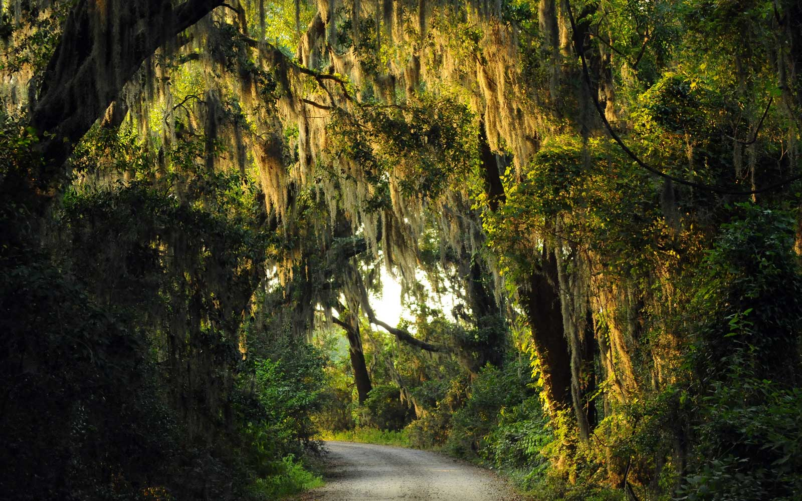 Beautiful Spanish Moss-draped lane at the Savannah Wildlife Refuge