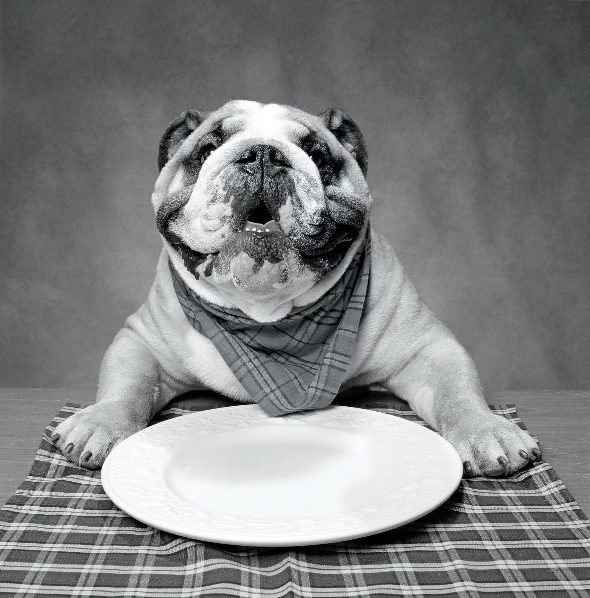Bulldog with Dinner Plate