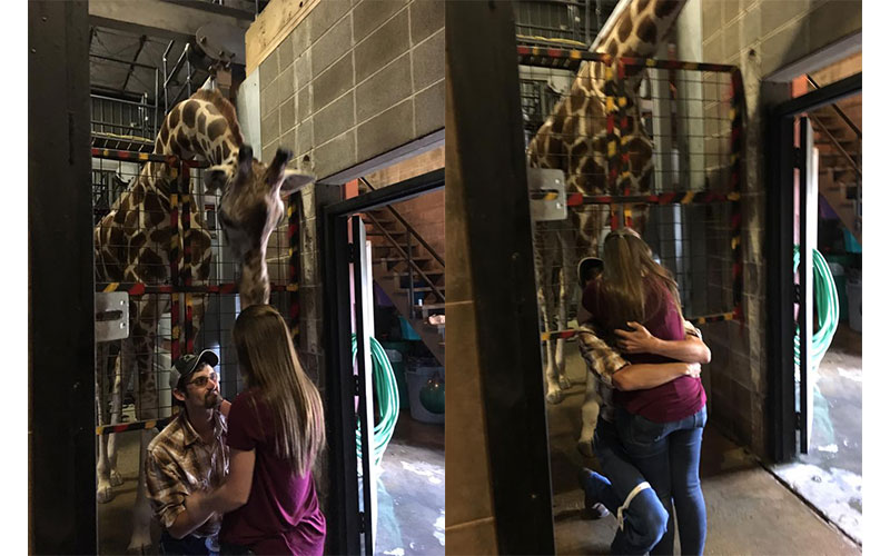 Giraffe Proposal at Missouri Zoo