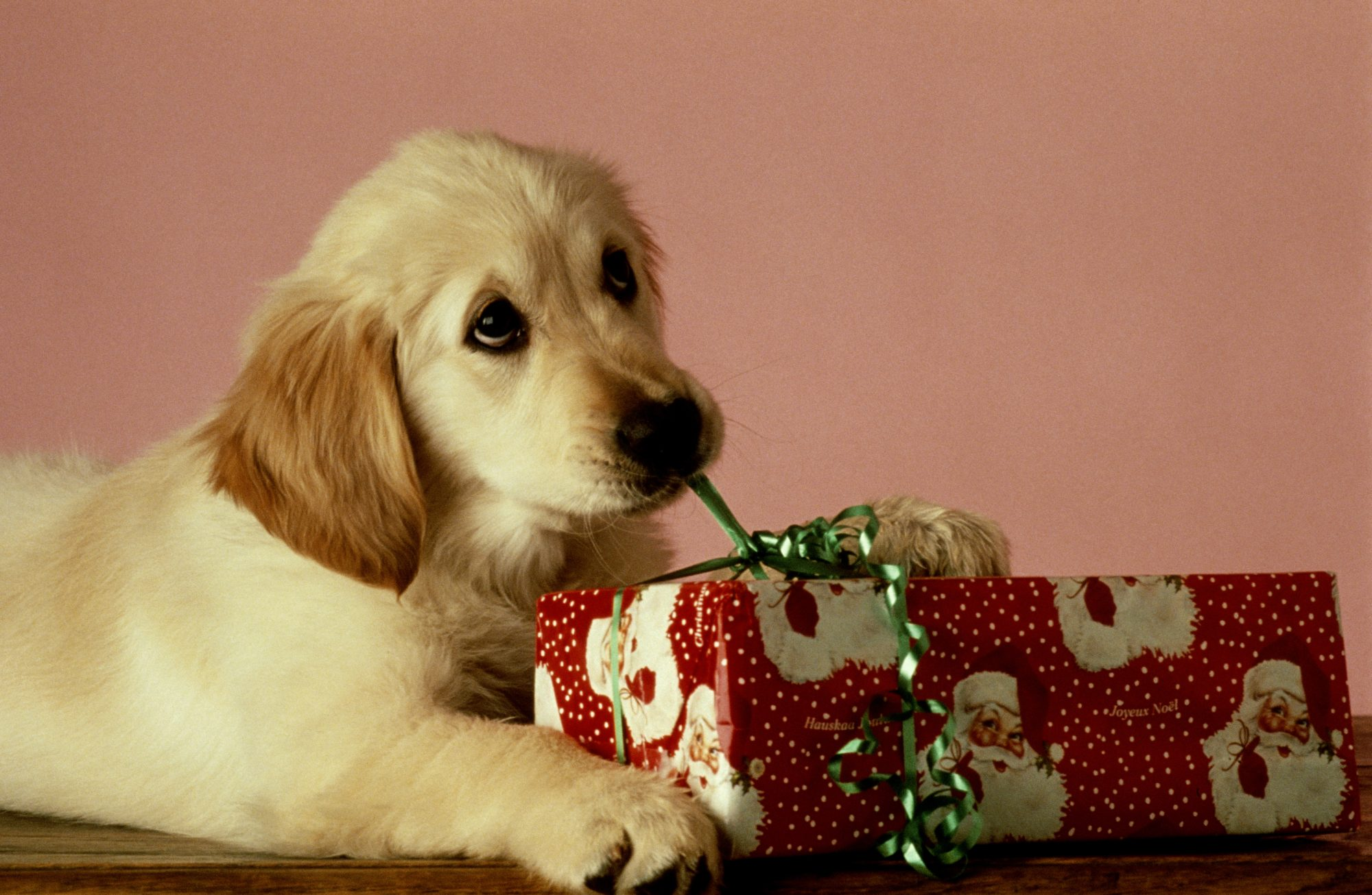 Puppy opening Christmas Present