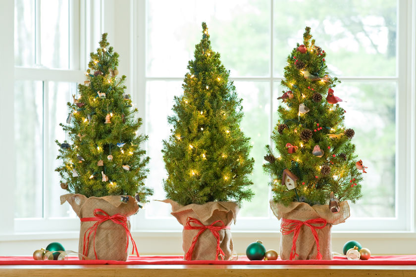How Not to Kill Your Live Christmas Tree