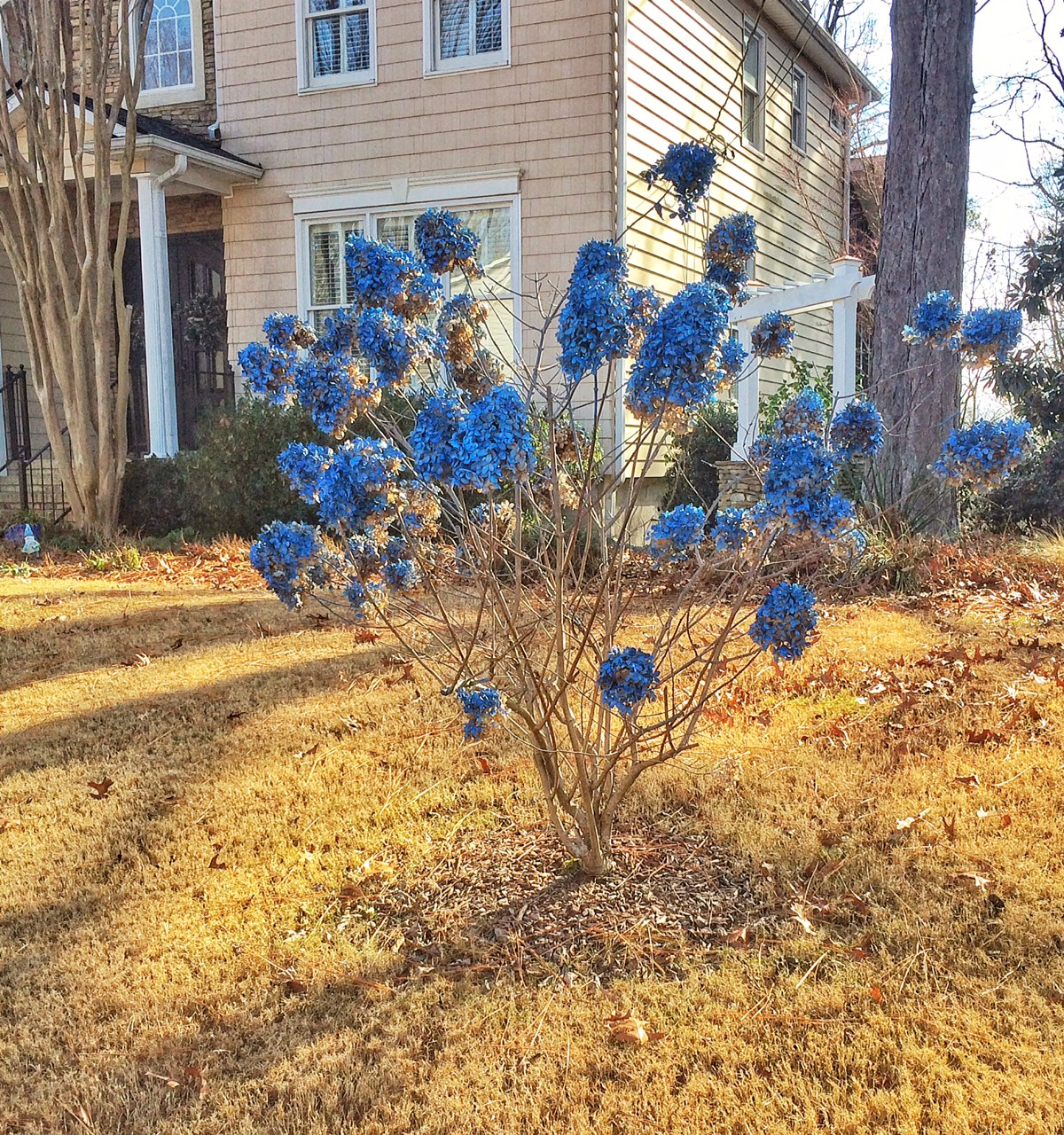 Winter Blue Hydrangea Bush