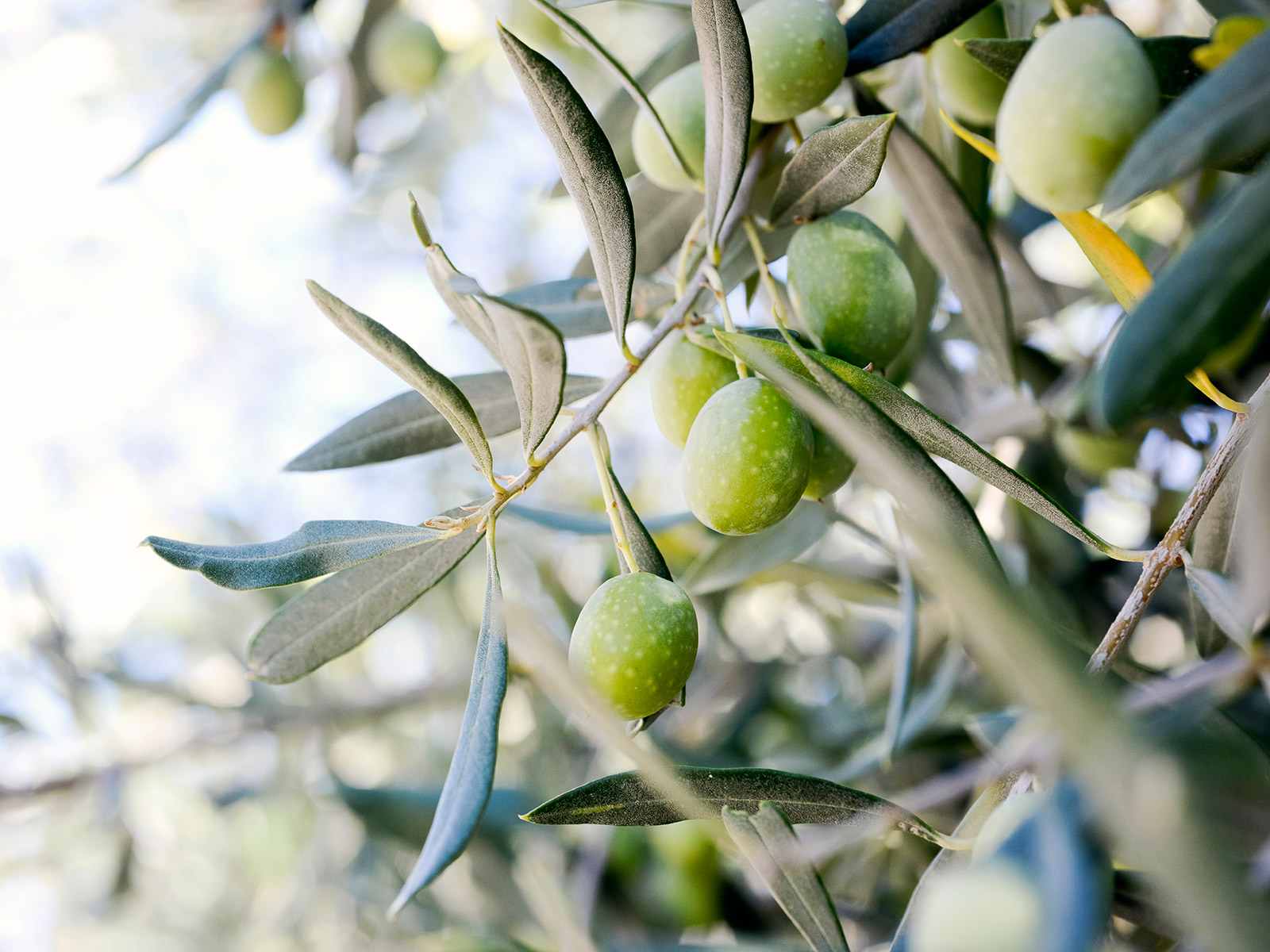 olive ripening on a branch