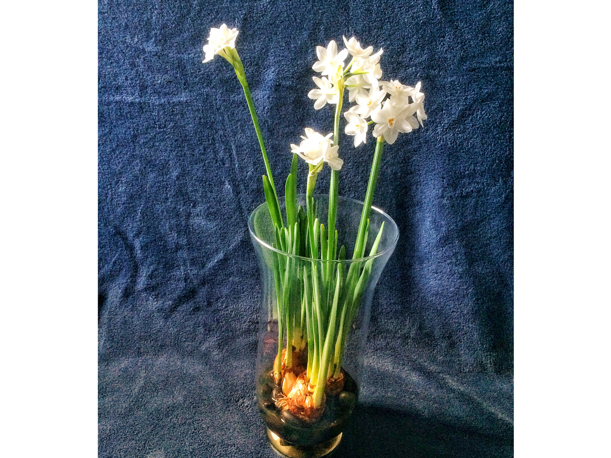 Admire My Stunted Paperwhites Southern Living