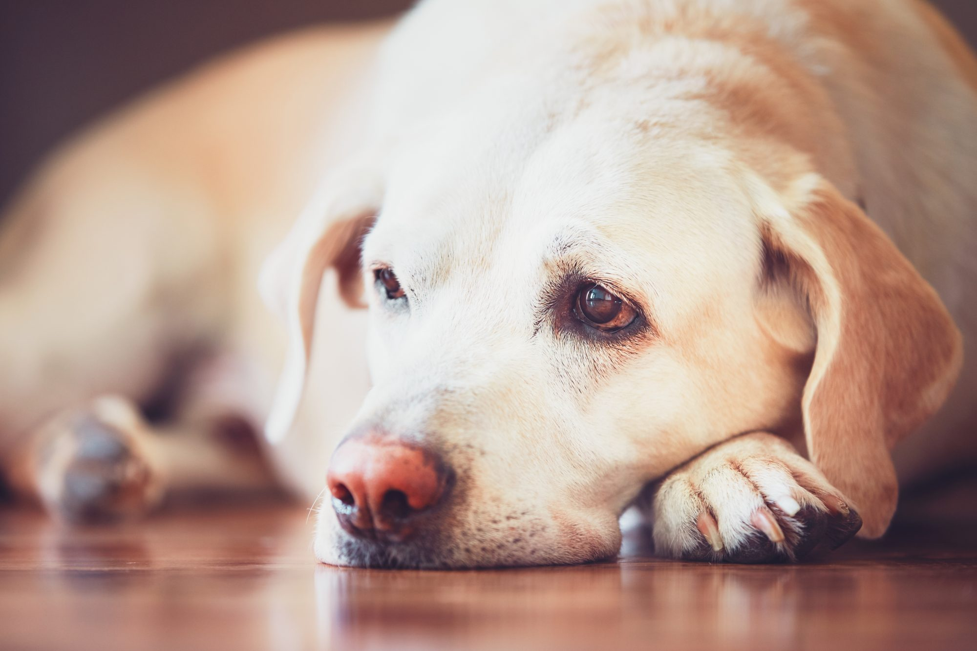 Close-Up Portrait Of Dog Lying Down