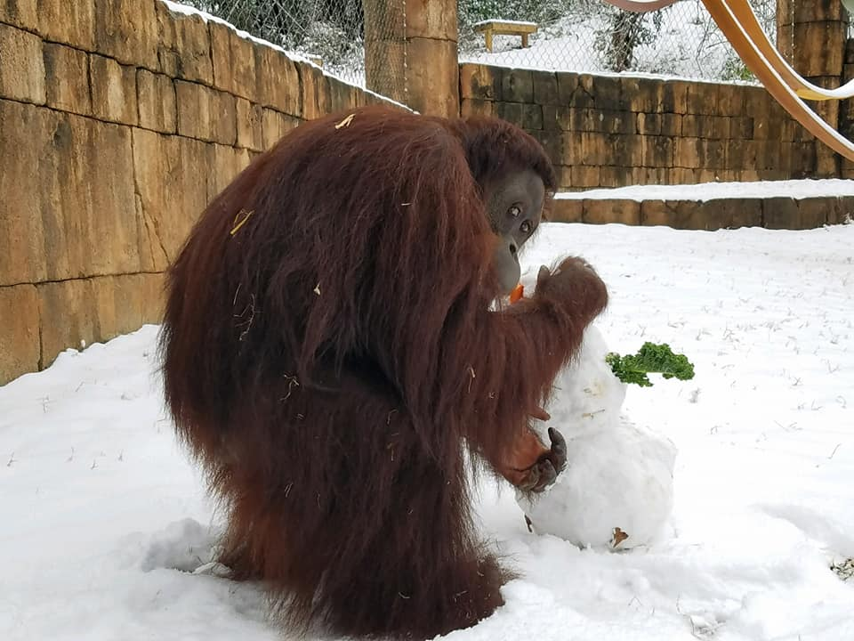 Kumar the Orangutan