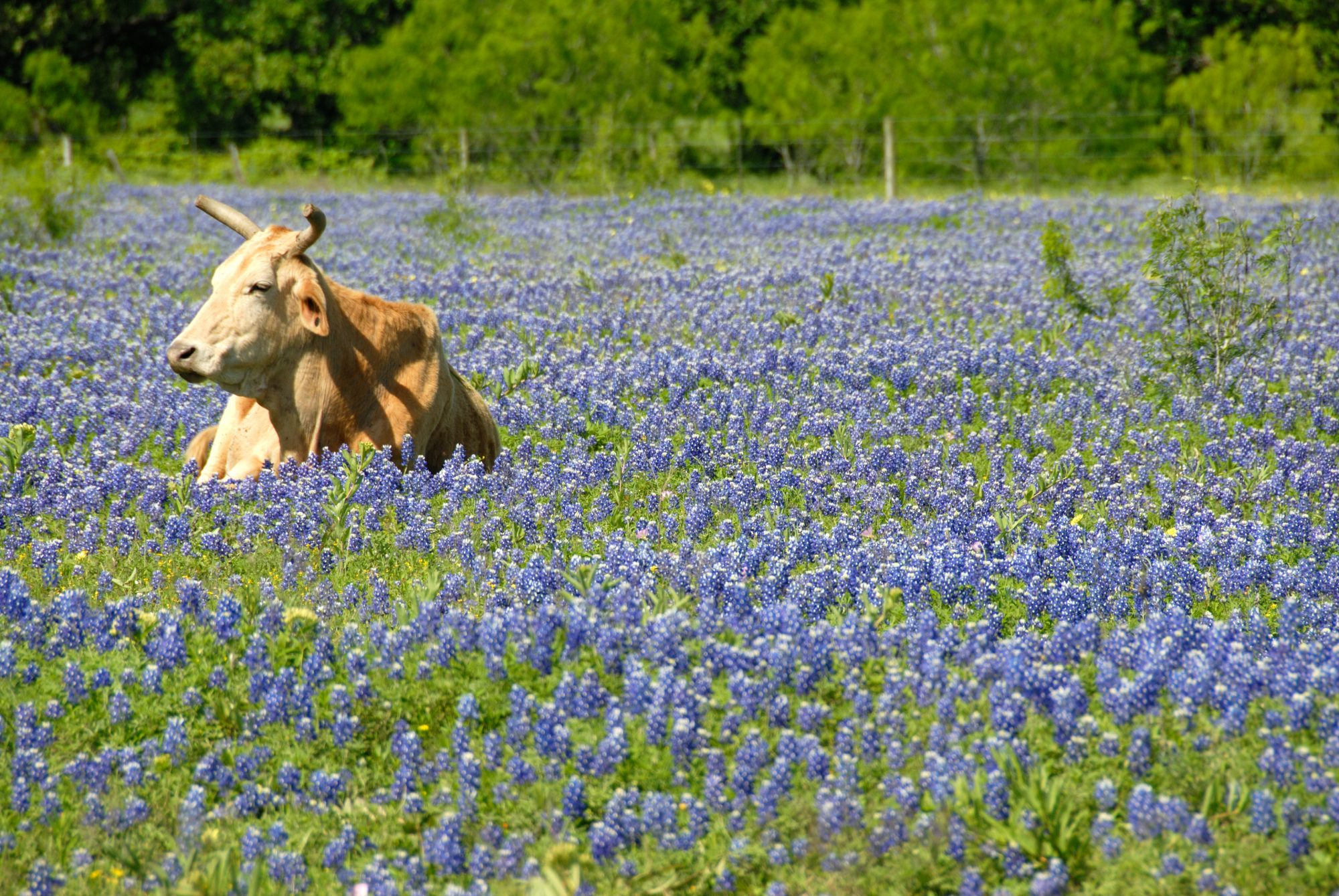 Bluebonnets and a Bovine