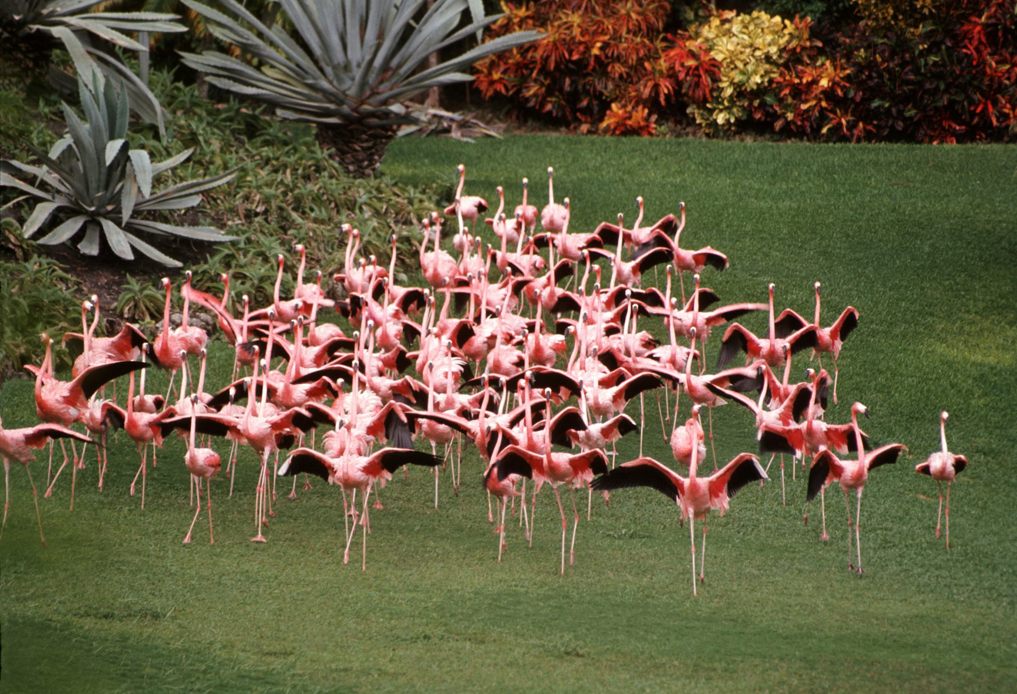 Flamboyance of Flamingos Running