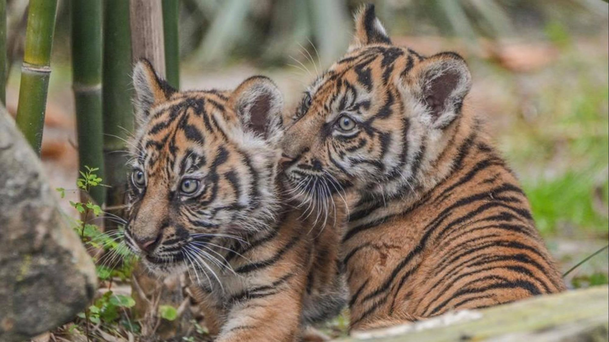 Rocky and Jaggar Tiger Cubs