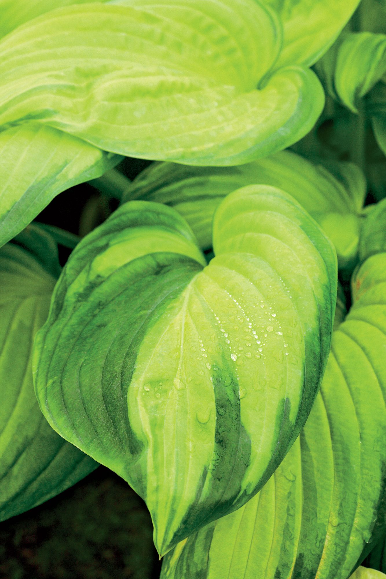 Stained Glass Hostas