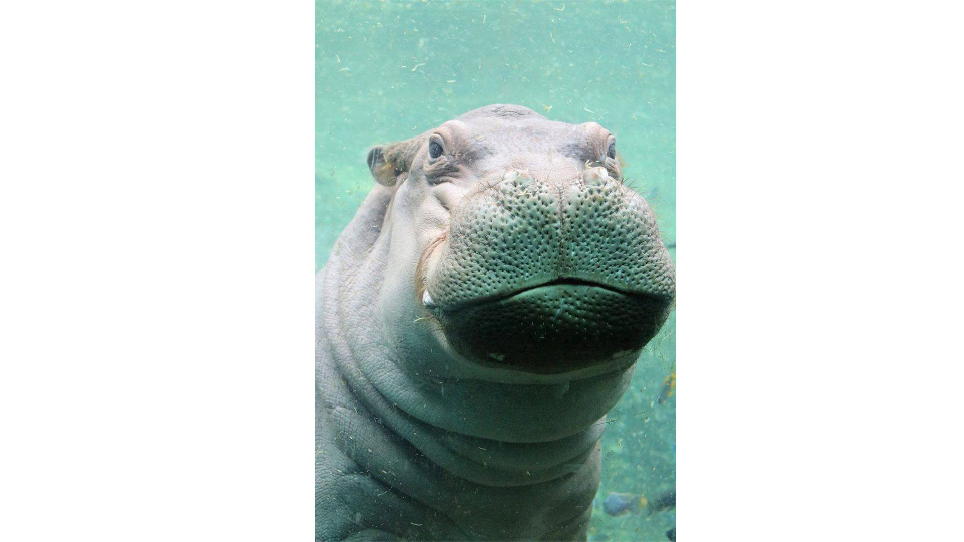 Timothy Fiona the Hippo Suitor