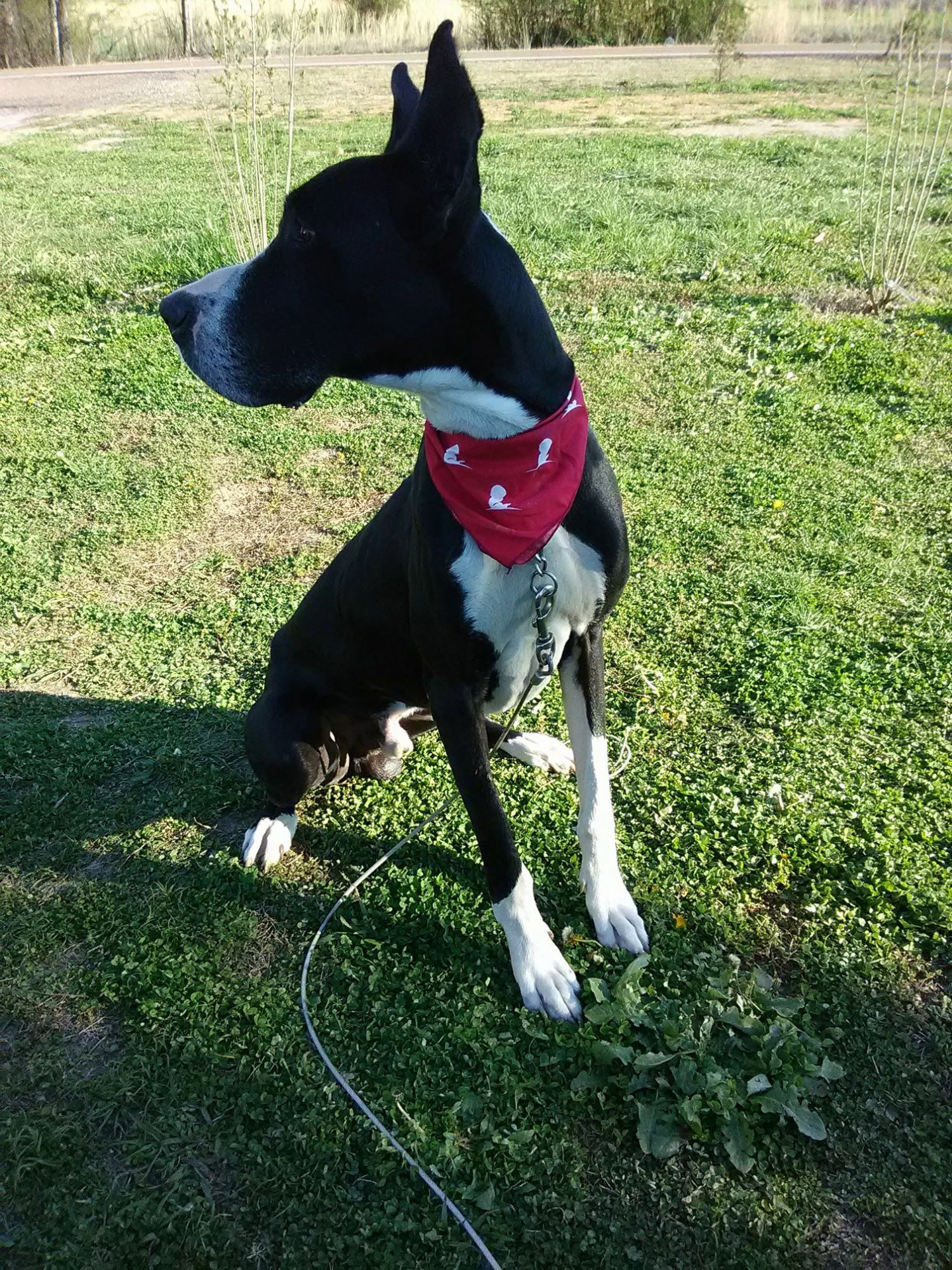 Great Dane Alerts and Saves Family From Giant Fire Minutes Before House Goes Up in Flames great-dane-1