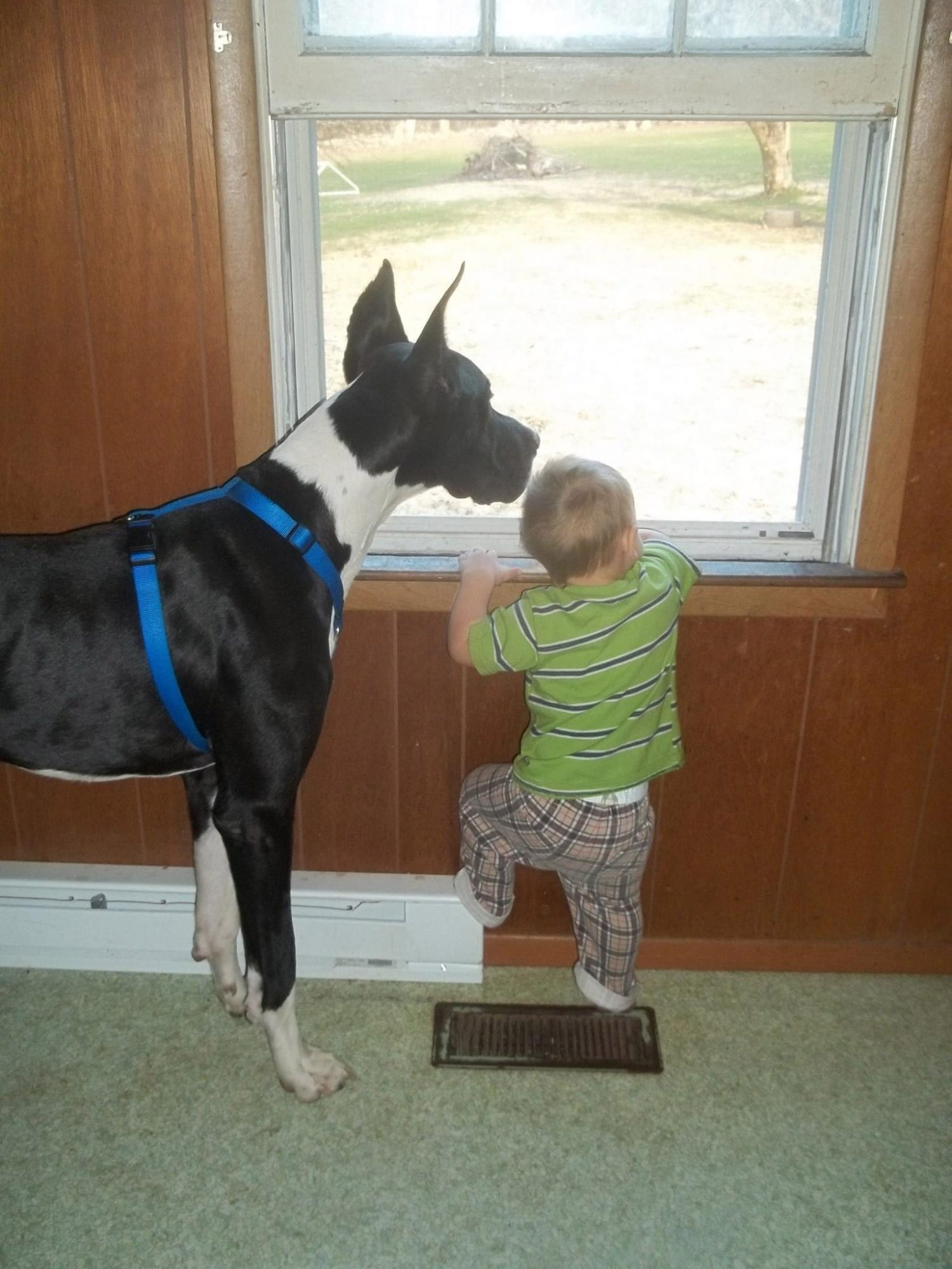 Great Dane Alerts and Saves Family From Giant Fire Minutes Before House Goes Up in Flames great-dane-6