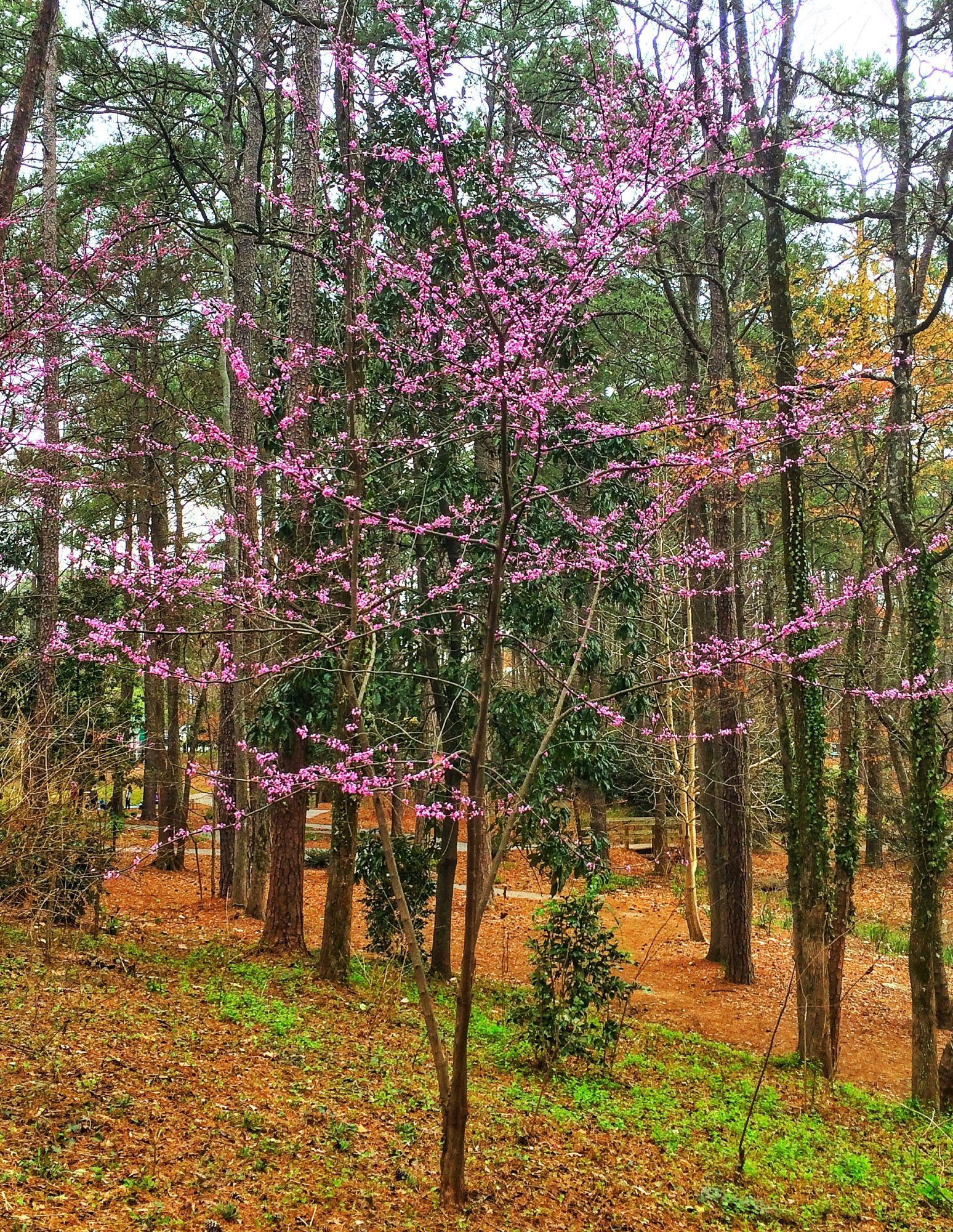 Redbud Tree in Garden