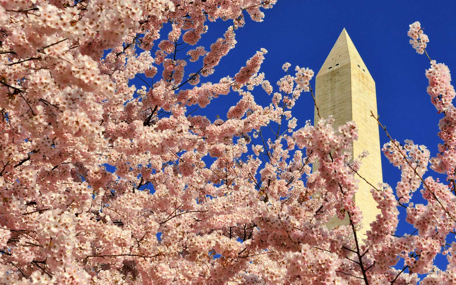 Cherry blossoms are out in Washington, seen against the Washington Monument rises behind a profusion of blossoms on the monument grounds in Washington, DC