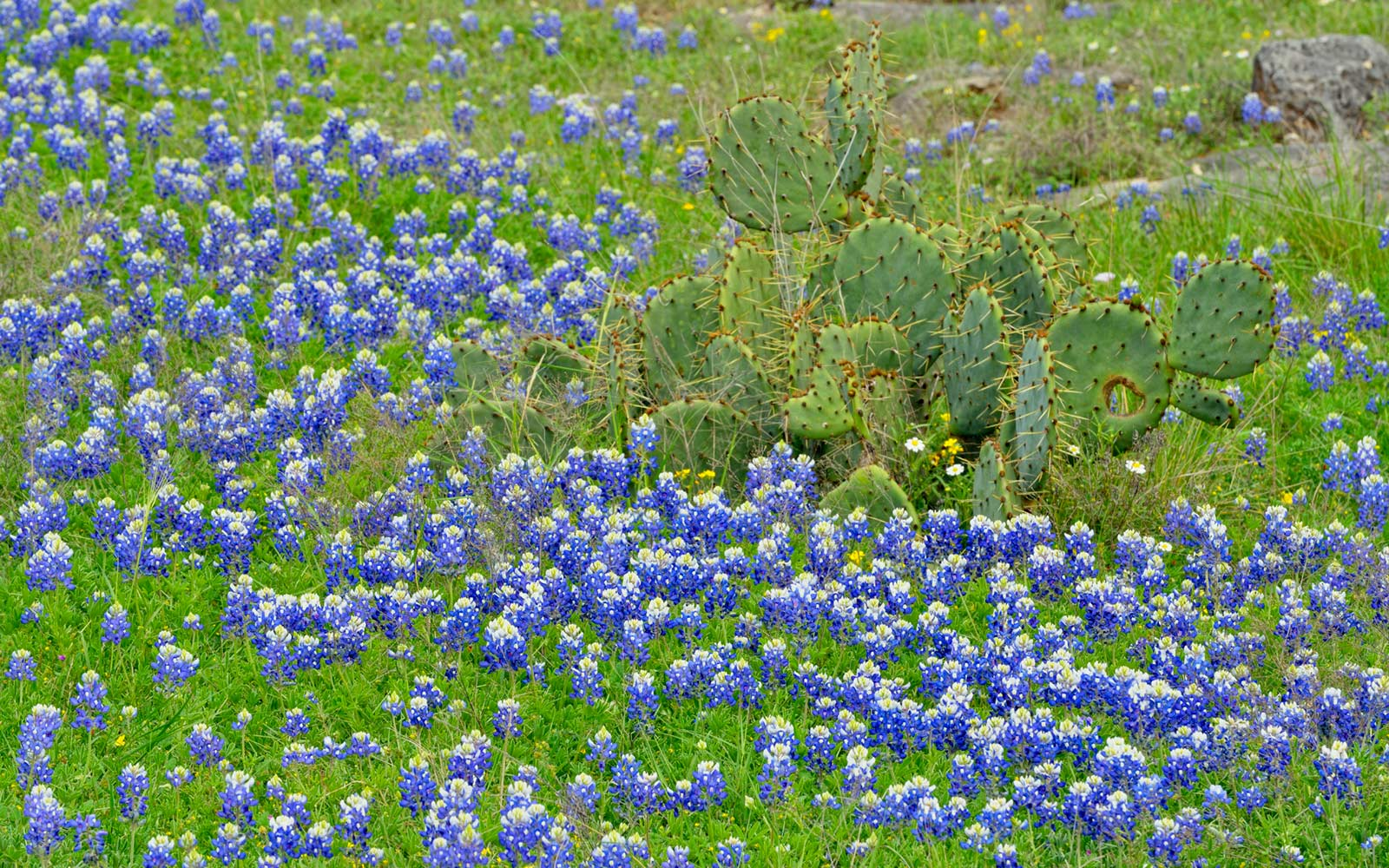 Bluebonnet Festival in Burnet, Texas