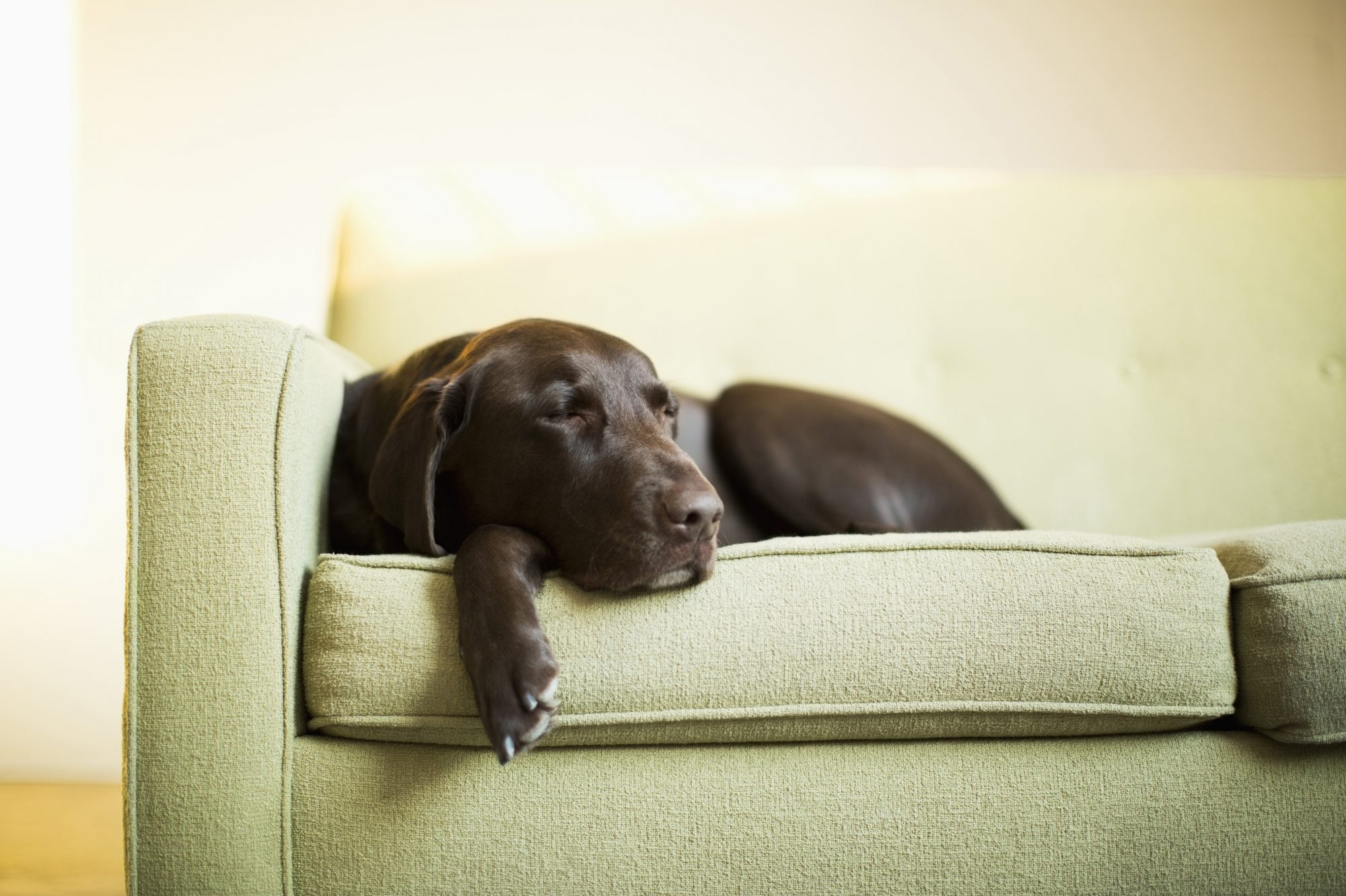 Southern Living Chocolate Lab Couch