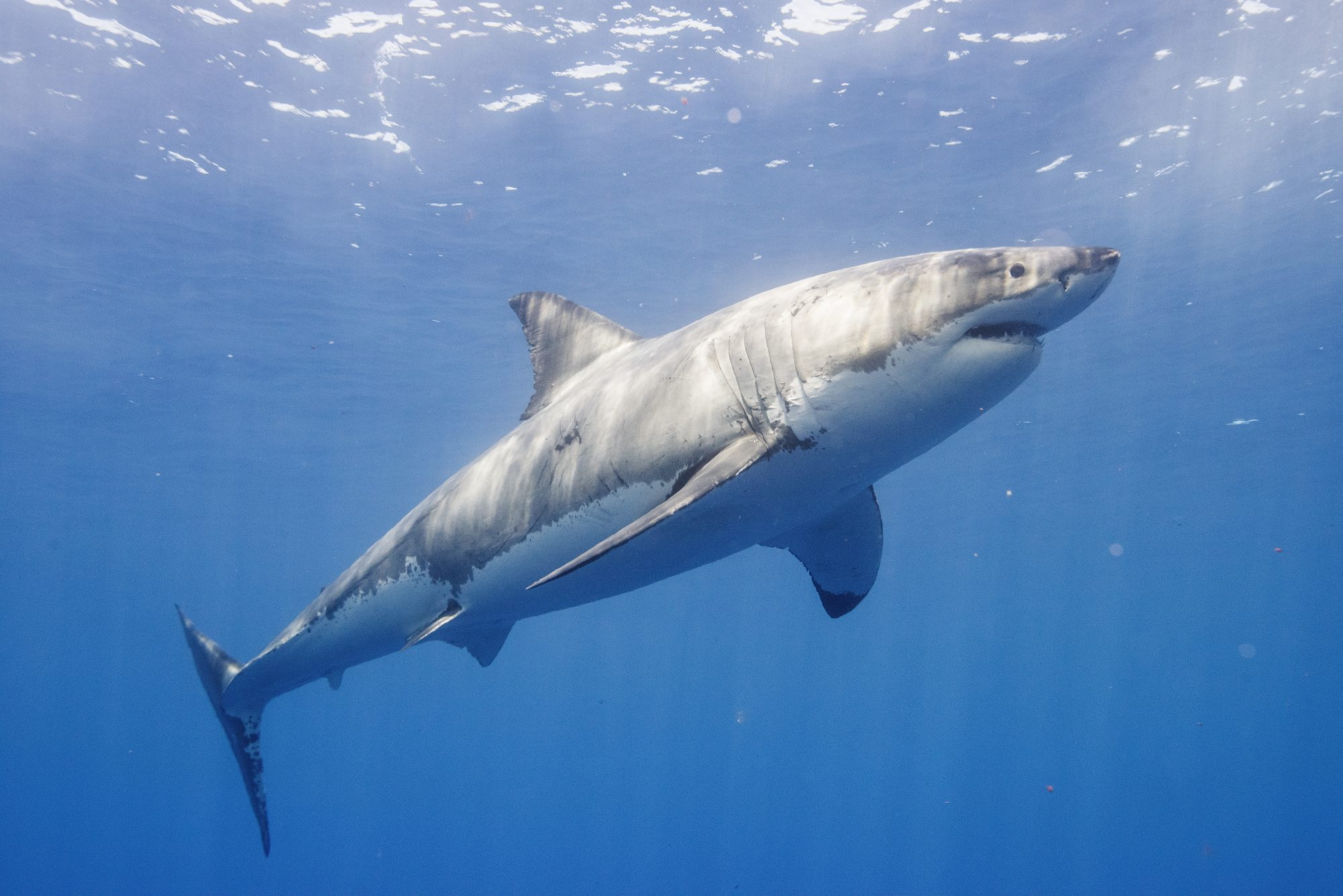 Southern Living Great White Shark