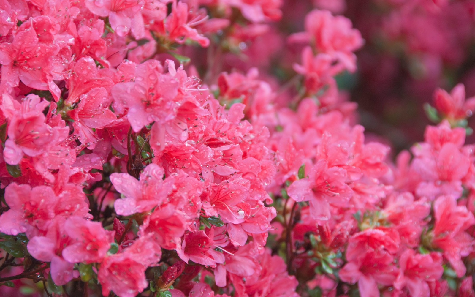 Azalea Festival in Wilmington, North Carolina